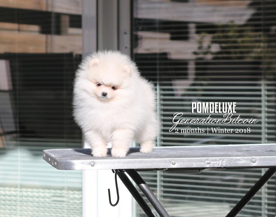 GenerationBitcoin_2 months-pomeranian puppy