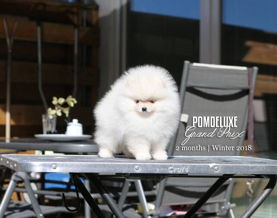 Grand Prix_2 months-pomeranian puppy-1