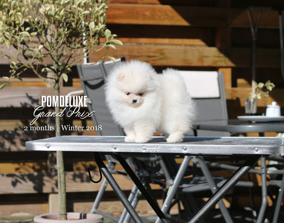 Grand Prix_2 months-pomeranian puppy-7