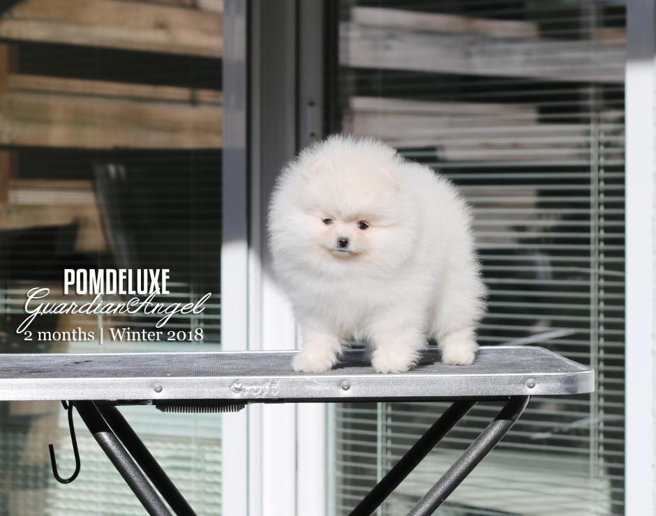 GuardianAngel_2 months-pomeranian puppy-3