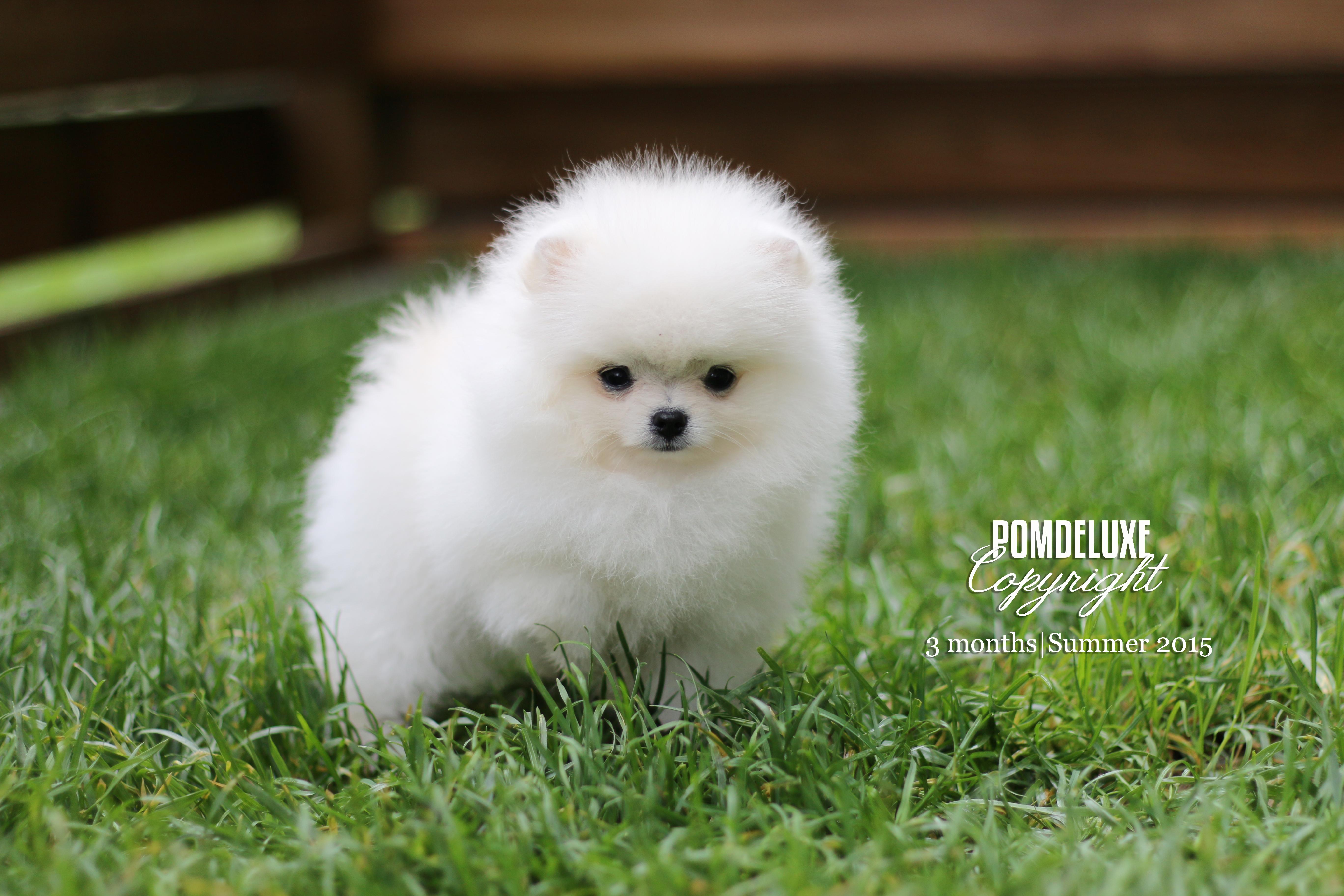 December 2013 Pomdeluxe Pomeranians