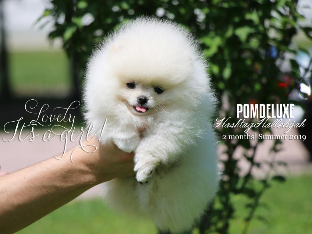 beli pomeranec_pomdeluxe